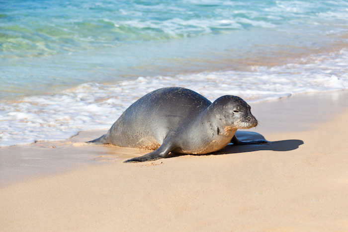 Kauai Monk Seal